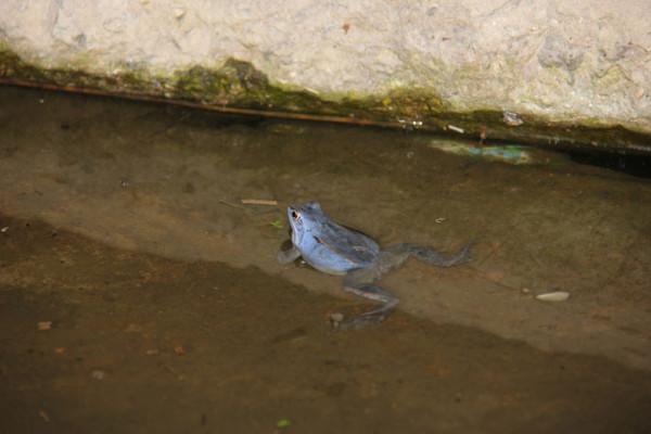 синяя лягуха