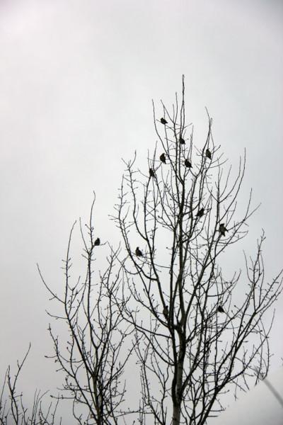 стайка хохлатых птичек