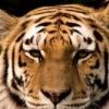 tigeer